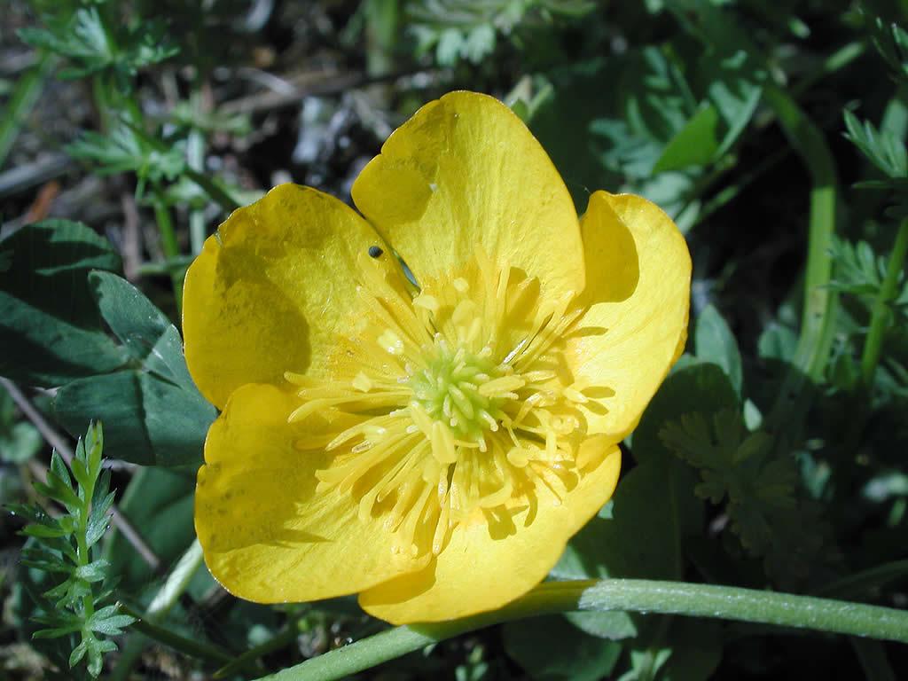 Fiore Giallo 6 Petali.La Flora In Val Di Fassa